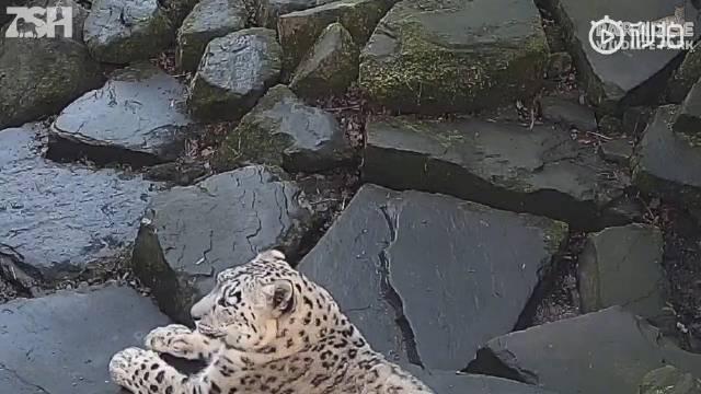 当雪豹发现自己被偷拍时的反应........