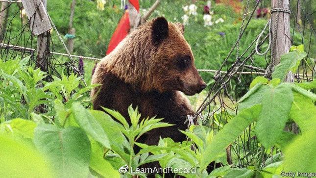 「经济学人」Asia - Bears v humans in Japan
