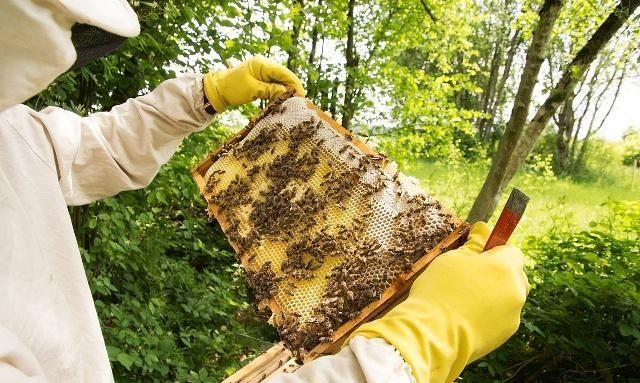 如果开始一脾蜜蜂使用春繁最快鲨鱼的繁殖?绵阳最好v蜜蜂图片