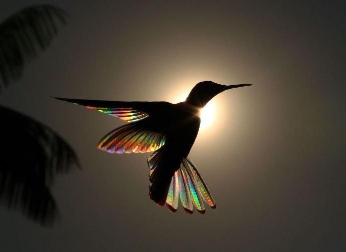 日光穿过蜂鸟的羽毛散射出彩虹的光芒