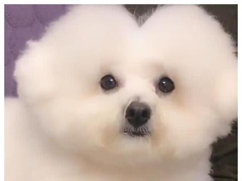 主人给狗狗修个中分发型,结果修成爱心,仔细一瞧不一般!