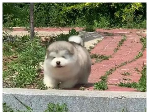 小狗狗跑步太自信,不小心摔了一跤,网友:脸刹车