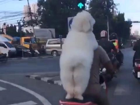 看到泰国一狗主人的遛狗方式后,网友:做狗也太难了!