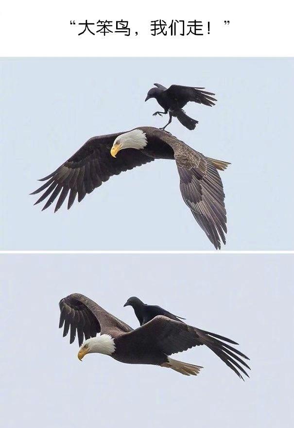 乌鸦绝对称得上是动物界的一股恶势力