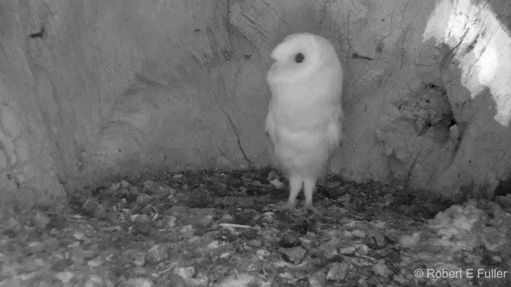 第一次听到打雷声的猫头鹰宝宝,吓的腿都站直了