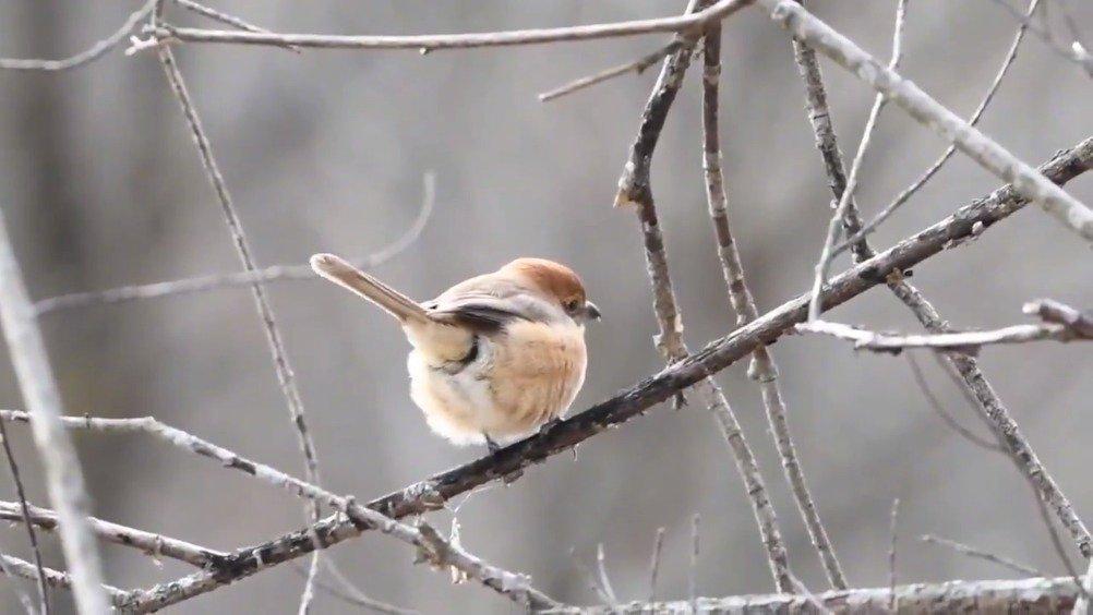 原来小鸟呆在树上的时候尾巴也不是一动不动的