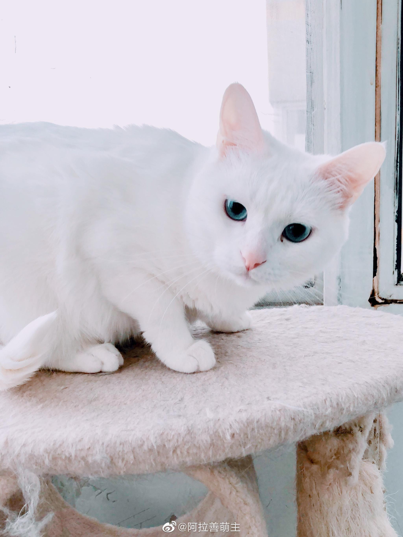 拜猫网_一只有镜头恐惧症的小仙女猫!