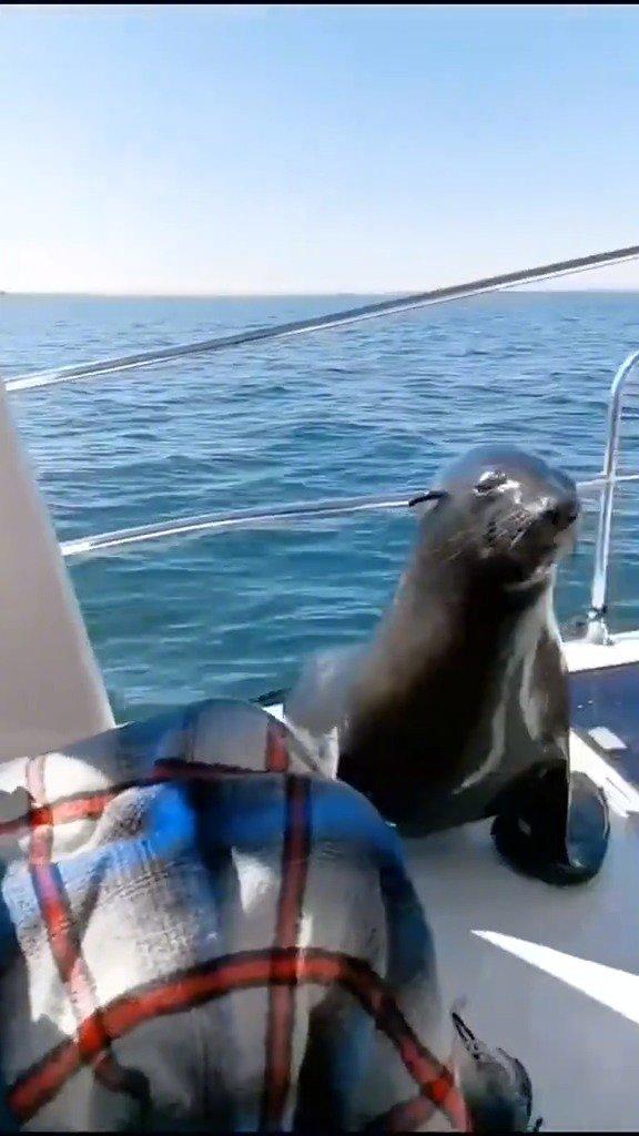 一直以为是光滑亮面的海豹,竟然有这么厚的毛  cr.白桃乌龙冰冰茶