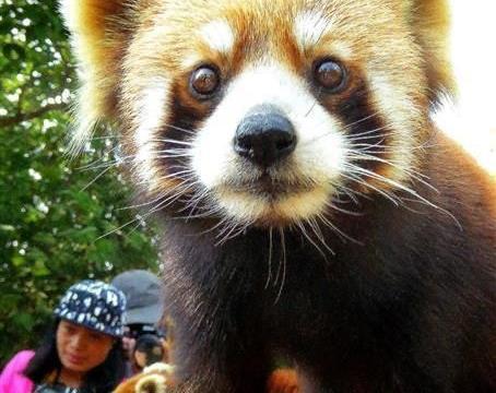 小熊猫当宠物一样亲密接触,萌宠当家在云南普洱太阳河国家公园