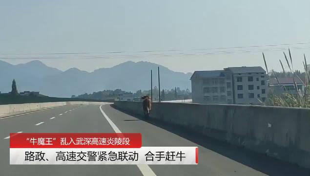 """大黄牛挣脱绳索跑到高速公路上""""撒欢"""",高速交警、路政联动"""