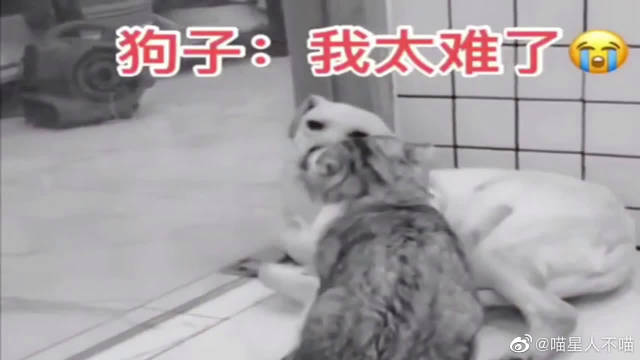 猫咪太坏了,一出来就欺负狗狗,狗子:我太难了!