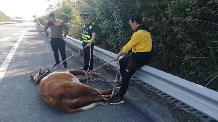 """大黄牛在高速上""""撒欢""""    忙坏路政和交警"""
