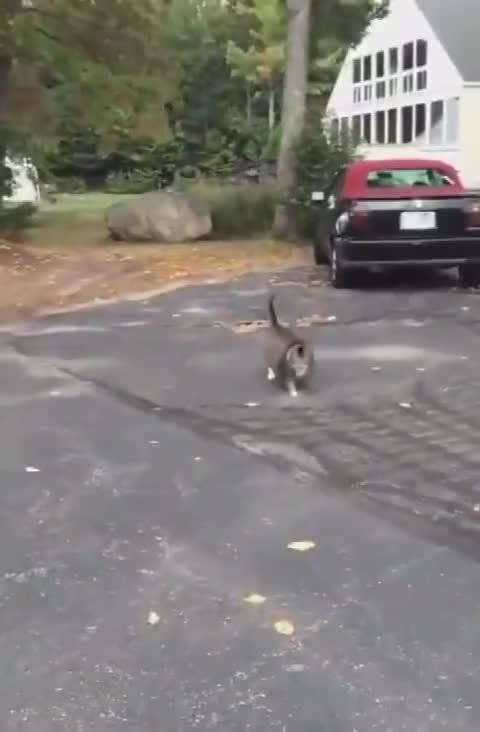 胖猫翻身有多困难?躺下撒娇却发现自己……滚不动