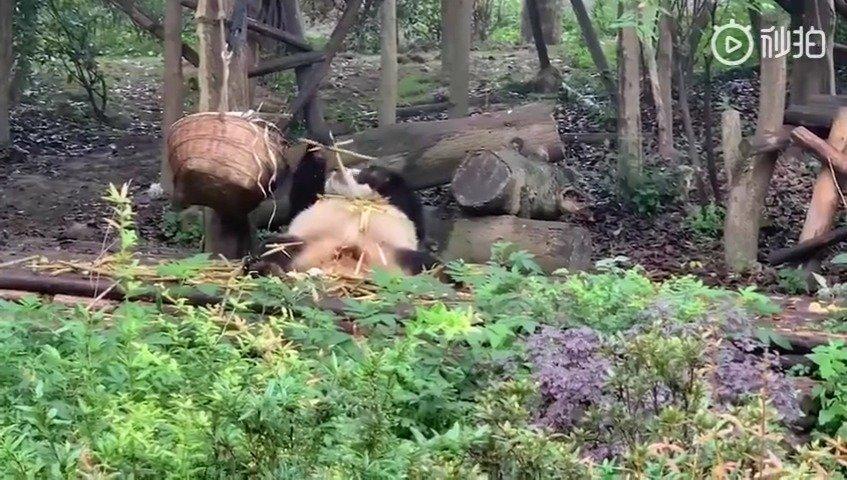 熊猫:我是国宝想怎么吃就怎么吃,刚才谁说话给我站出来!