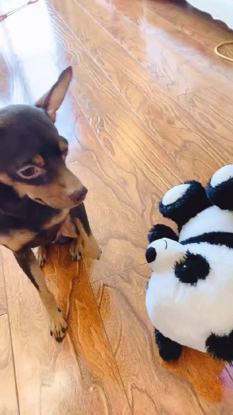 主人指责狗狗拆玩具,狗狗急中生智把黑锅甩得干干净净,成精了!