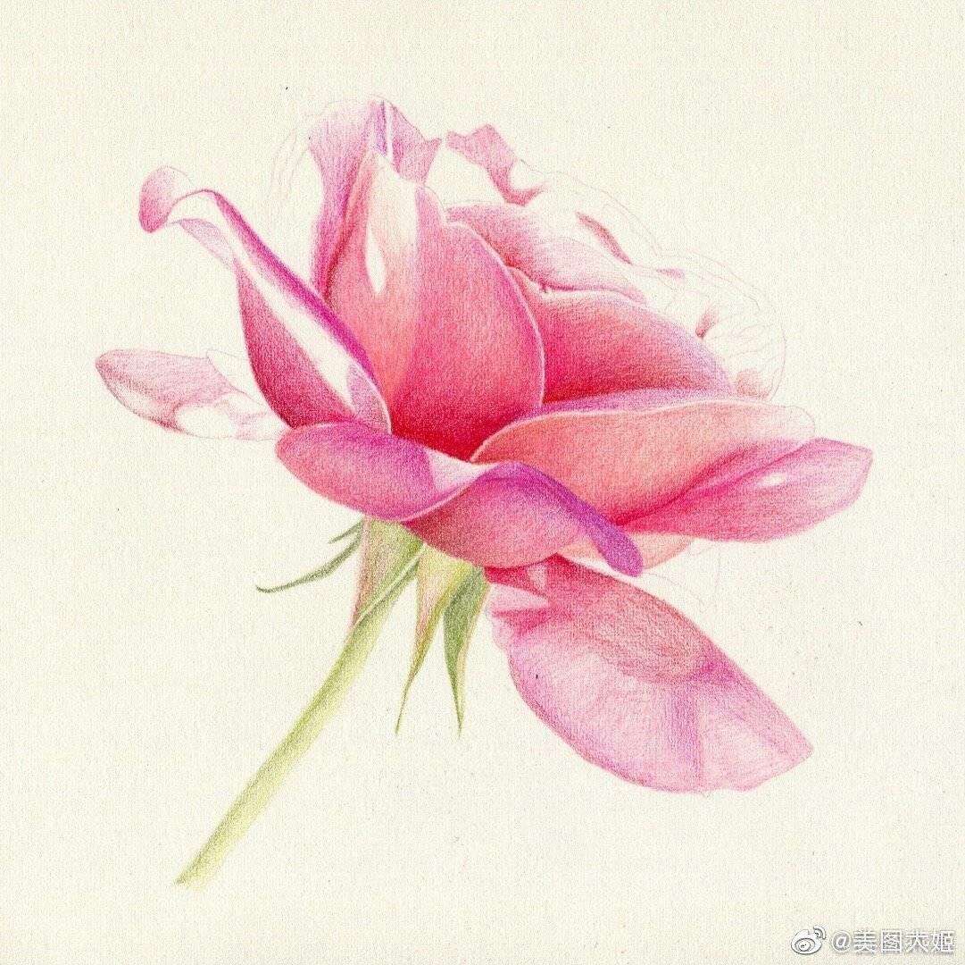 彩铅画手绘作品 月季花作者@春林燕喜