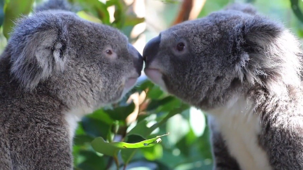 正在吃新鲜桉树叶的考拉(FB:Australian Reptile Park)
