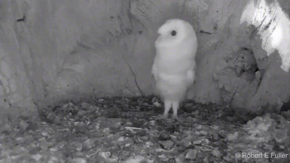 出生后第一次听到打雷声的猫头鹰宝宝,弱小可怜无助~