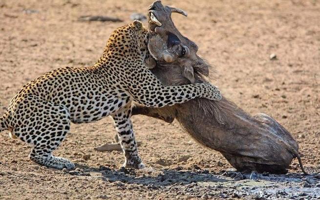 """野猪最""""血性""""的一刻!花豹恶意挑衅,野猪直接一把撂翻在地!"""