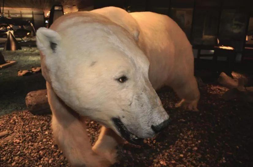啥?北极熊竟然是透明福利,黑色皮肤?|内有毛发华中农业大学兽医院看仓鼠吗图片