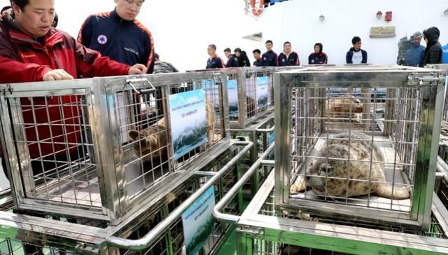 最后一批37只被放生!大连遭盗猎幸存斑海豹已全部放归大海