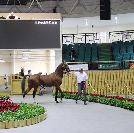一匹马卖180万元?真真的,就在右玉,123匹纯血马卖疯了…