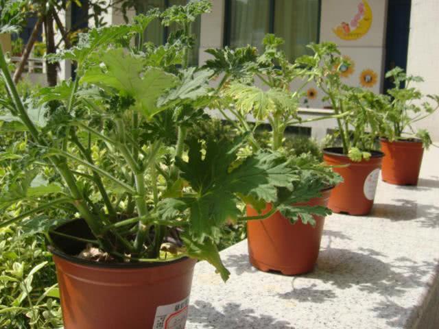 夏天快到了,在家养这3种盆栽,室内蚊虫少了,香味清新