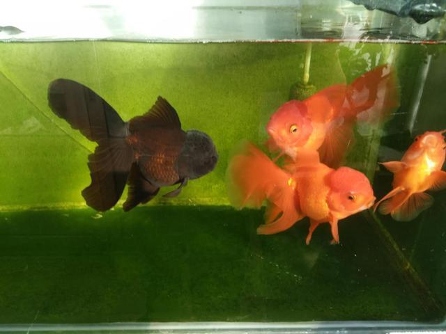 鱼缸里的青苔长得不均匀或者缸里有褐藻,我们一定要有所舍弃!