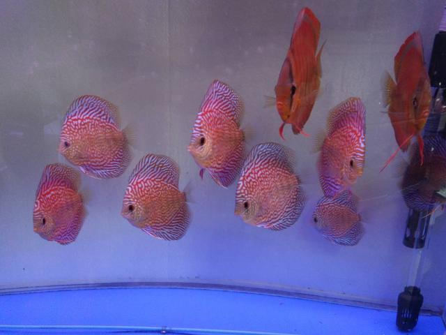 给七彩神仙鱼进行体表检疫,就是用药物进行杀菌处理吗?