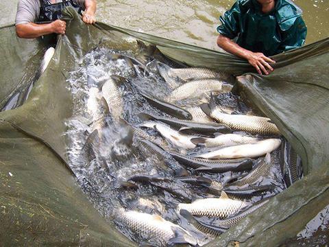 农民鱼塘有死鱼,加抗生素后死的更多,原来这药只能用5-7天