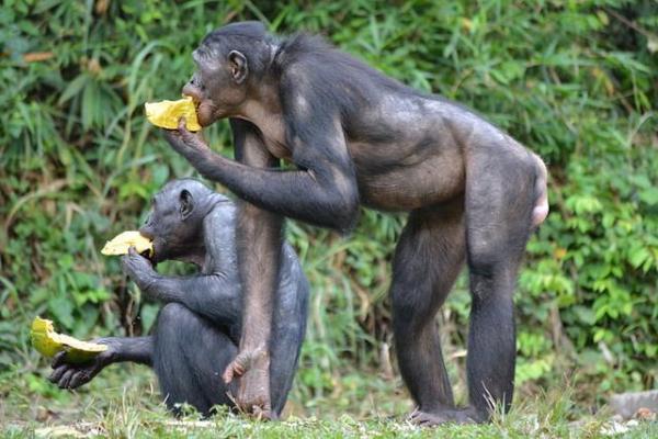 倭黑猩猩也干预子女婚姻:帮儿找对象促进生育,驱赶雄性保护交配