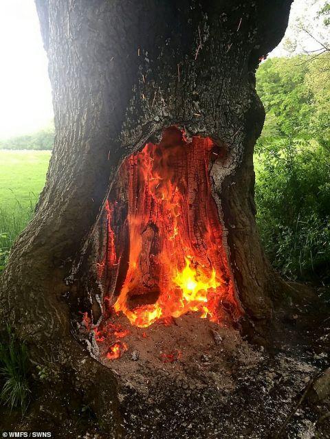 年轻人刻意纵火 英国一颗250年橡树被烧毁