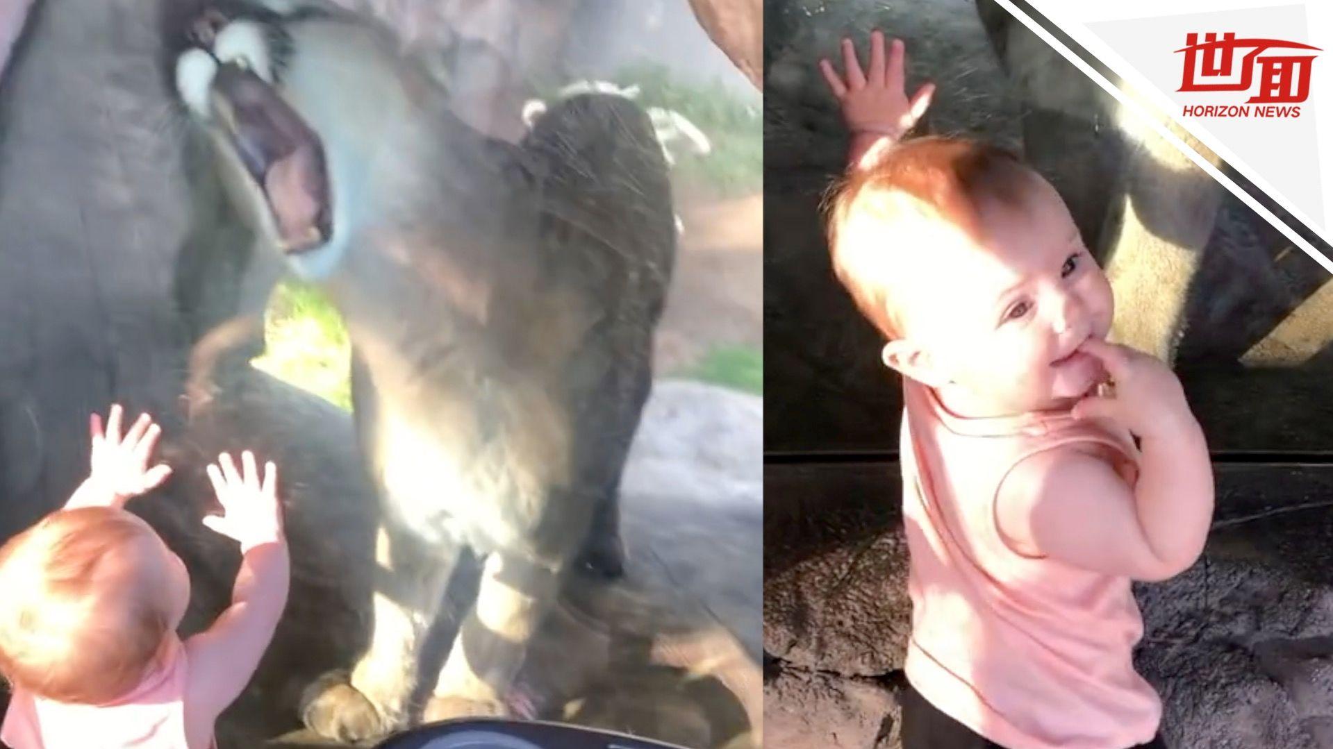 10月大萌娃逛动物园 美洲狮隔玻璃张大嘴:看着很好吃