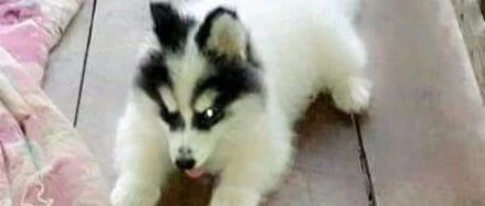 网友高价买了只半纯白哈士奇,没想到长大后居然变了一只狗,崩溃了!