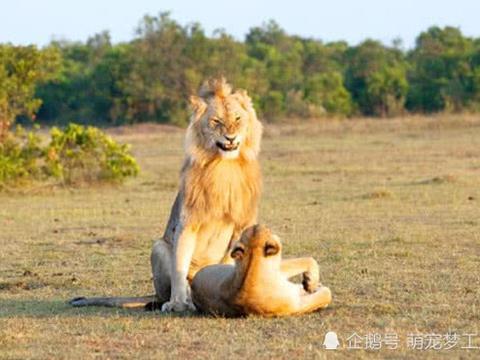 经过大自然的选择,这头公狮获得了交配权,瞧它炸裂的表情绝了