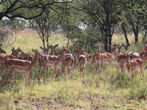 非洲有种最聪明的动物,两只眼睛特别大,遇到猎豹不跑反在原地跳