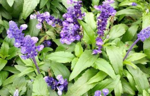 """常被误认为是""""薰衣草""""的植物,能从中萃取香精,还能制作成香包"""