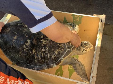 大连圣亚海洋世界5只救助海龟放归大海