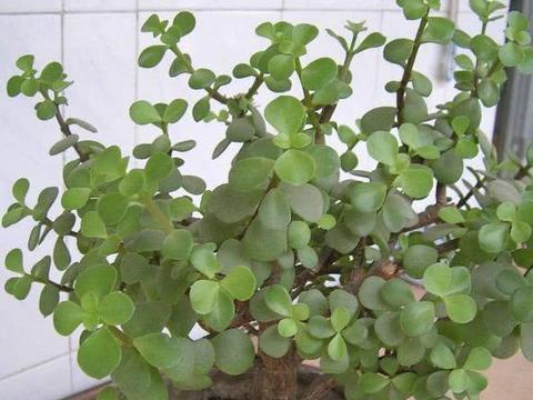 """盆栽马齿苋,关键在""""一步"""",叶肥、枝干硬,养成盆景,价值翻倍"""