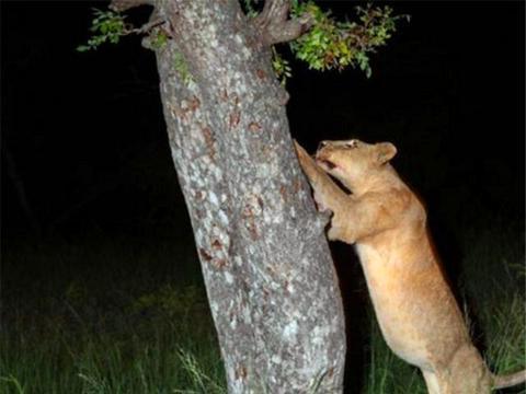 花豹将猎食到的食物挂在树上,谁知道一转眼功夫,被狮子偷了