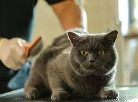 一拿出梳子猫主子就躲,这是什么情况呀?给猫主子梳毛也有技巧