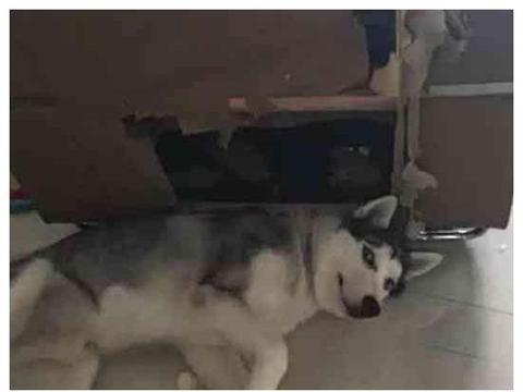 二哈拆家主人只好养个比格犬陪它,从此过上了心疼比格犬的日子