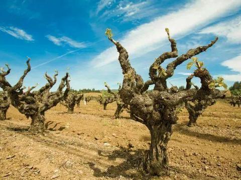 葡萄树龄和葡萄酒有关吗?