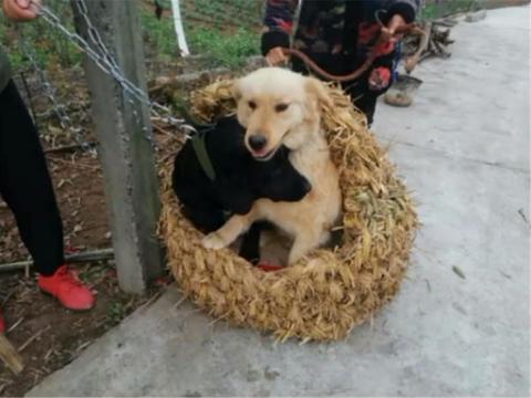 主人用稻草给狗做窝,狗子钻进窝里不出来,狗:纯天然真舒服……