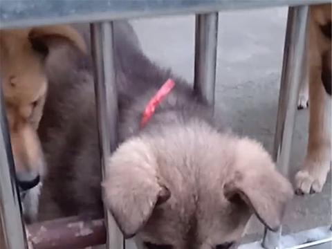 小狗犯二,被大狗摁在地上教训,狗崽:以后再也不敢了……