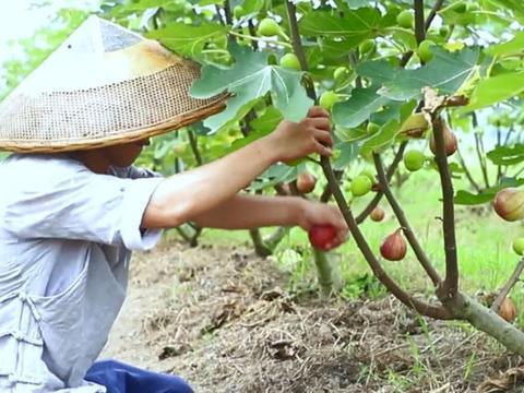 """生长于树干上的水果,一摘下来就会流""""乳汁"""",熬一锅果酱超香甜"""