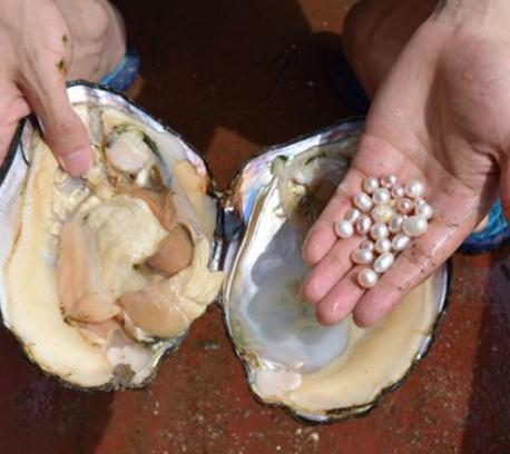 """珍珠蚌取完""""珍珠""""后,蚌肉还能吃吗?7成人不懂,"""