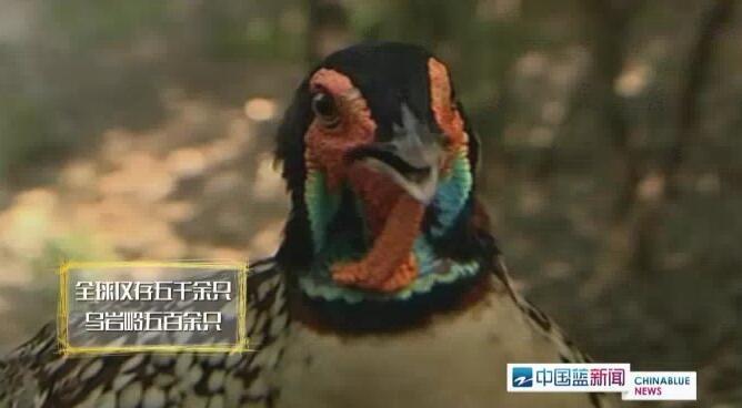 太可爱了吧!今年自然繁育的第一窝野生黄腹角雉会飞了