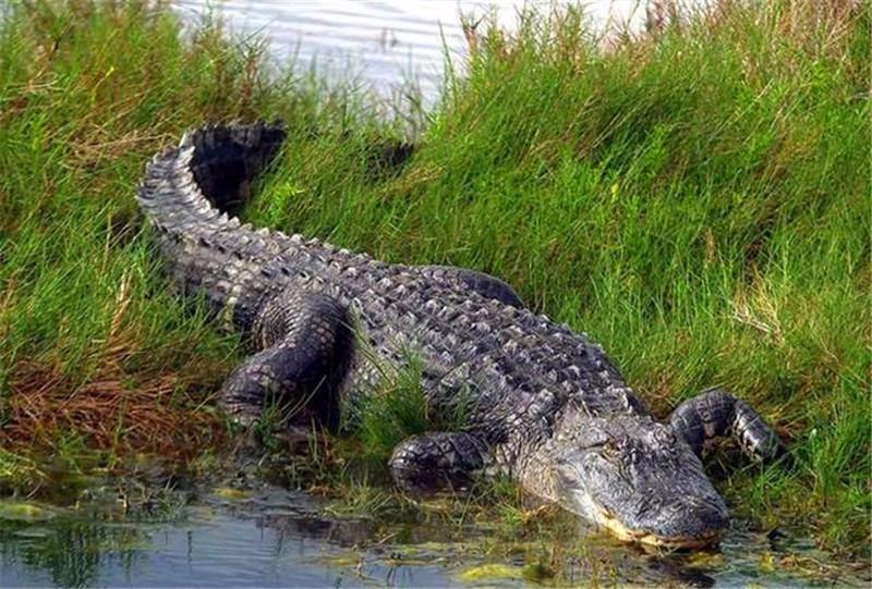 射幼谷_一条鳄鱼想报复同伴,不敢直接动手,竟选择撕咬对方的幼崽!