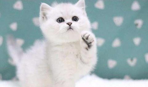 「奇妙の猫咪物语」英短银渐层拉软便,银渐层4个多月软便